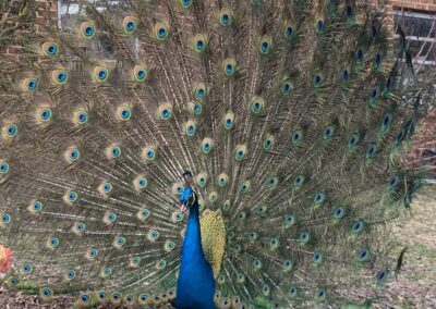 School farm's resident peacock, Henry, showing off!